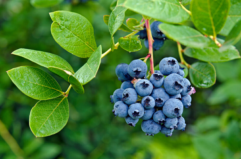 Grab Organic Blueberries to Slow Aging